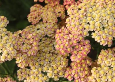 Achillea Rainbow Flaunting Wings