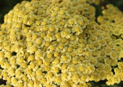 Achillea Rainbow Golden Treasure