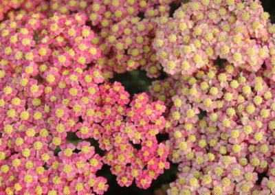Achillea Rainbow Salmon Queen