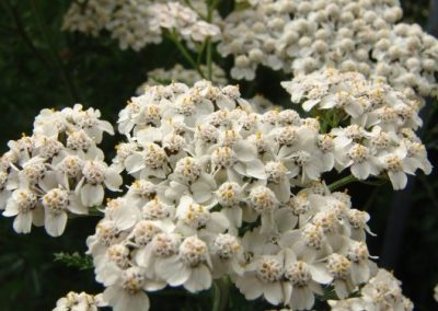Achillea Rainbow White Butterfly
