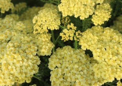Achillea Rainbow Yellow Bouquet
