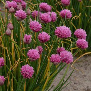 Allium - perennial Allium