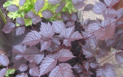 Astilbe hybrid Chocolate Shogun