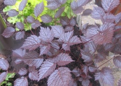 Astilbe hybrid Chocolate Shogun 01