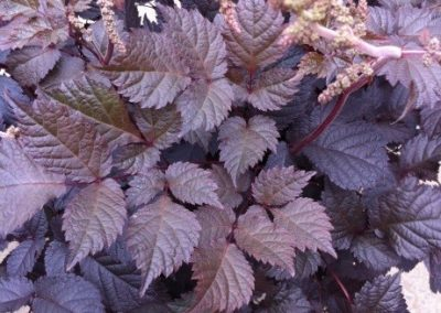 Astilbe hybrid Chocolate Shogun 02