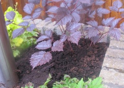Astilbe hybrid Chocolate Shogun 03