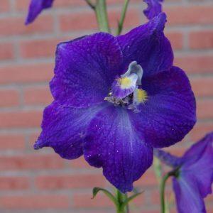 Delphinium belladonna Series