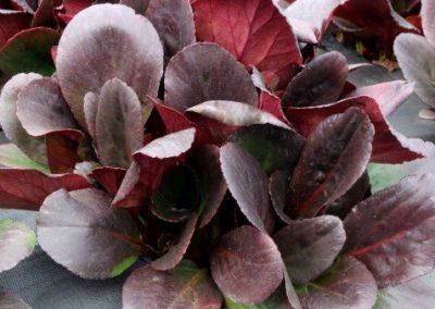 Bergenia Dragonfly® Spring Fling fall/winter foliage