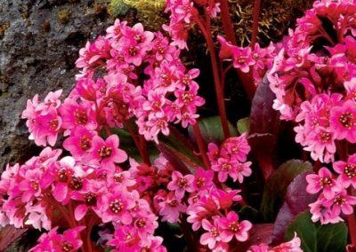 Bergenia Pink Dragonfly(Eskuche)
