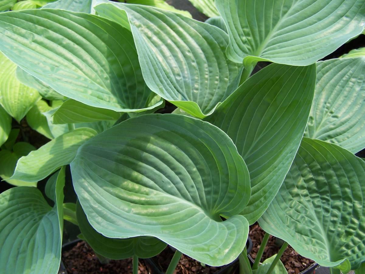 Hosta Blue Hawaii Verschoor Horticulture