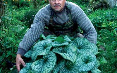 Brunnera Macrophylla 'Alexander's Great'®