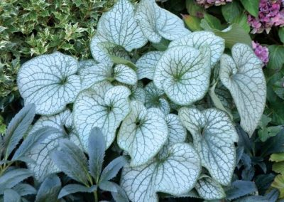 Brunnera Macrophylla 'Alexander's Great'® Spring colour