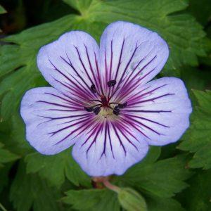 Geranium hybrids