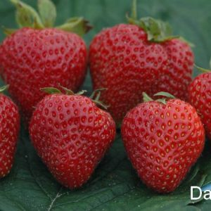 Fragaria(strawberry)