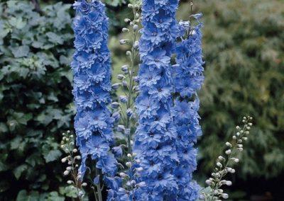 Delphinium Blue Indulgence