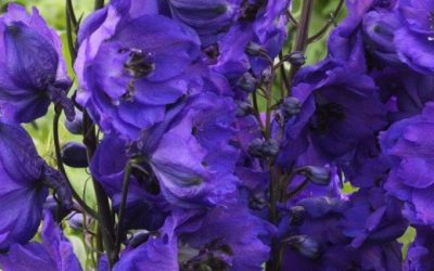 Hardy delphinium on the move