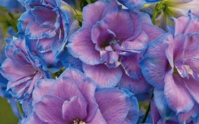 Hardy Delphinium on the move top rated varieties
