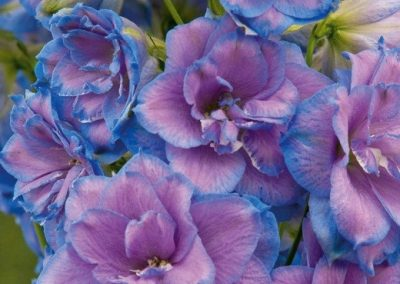 Delphinium Wishful Thinking