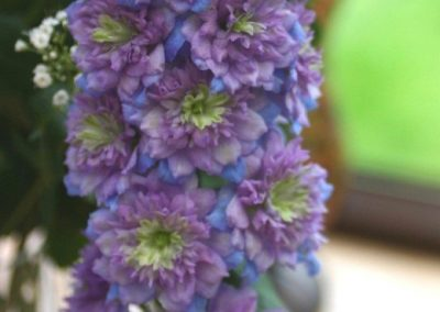 Delphinium hybrid Blueberry Pie