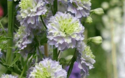 Hardy delphinium on the move Highlander series