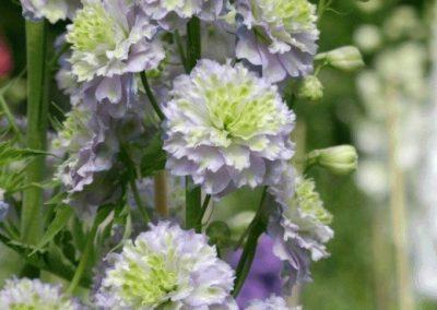 Delphinium hybrid Crystal Delight