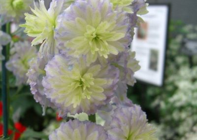 Delphinium hybrid Moonlight 02