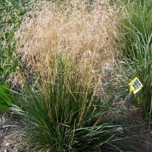 Deschampsia