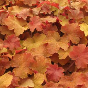Heuchera Independent Series