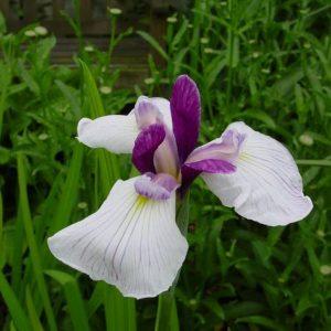 Iris ensata-hybrids