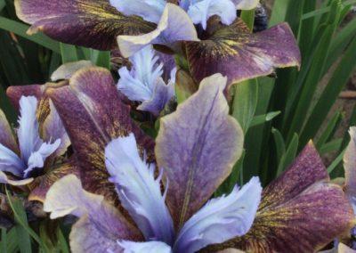 Iris sib 'Black Joker'