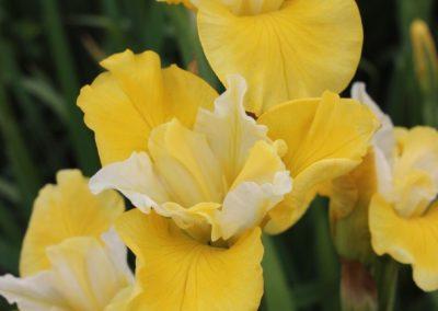 Iris sib 'Solar Energy'