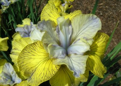 Iris sib 'Theme And Variation'