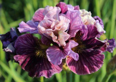 Iris sib. 'Mad Hat'