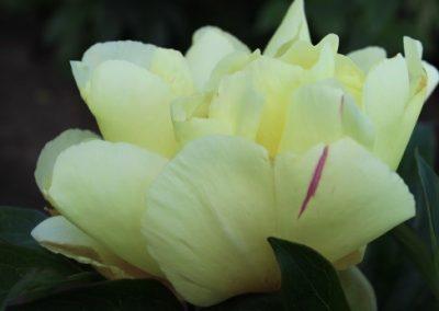 Itoh Lemon Dream
