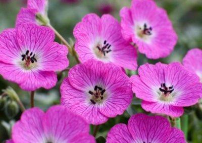 Jolly Jewel™ Hot Pink®