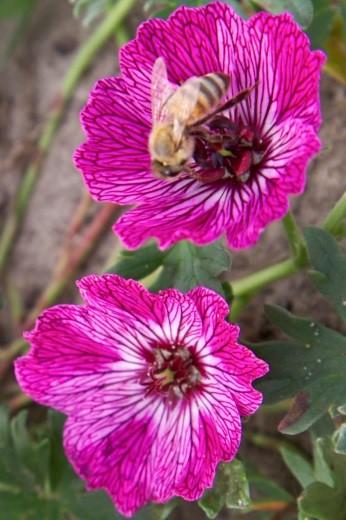 Jolly Jewel™ Lilac®