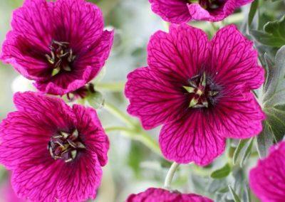Jolly Jewel™ Purple®