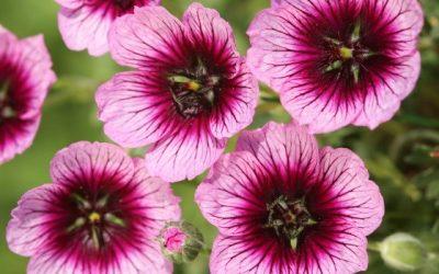 Jolly jewels™, A new series of geranium cinereum
