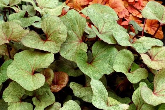 Ligularia dentata 'Garden Confetti'® Spring Summer colour