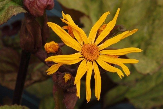 Ligularia dentata 'Garden Confetti'®