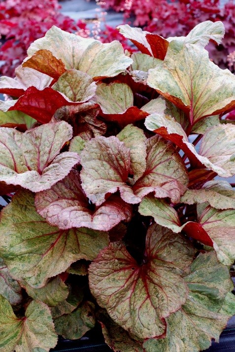 Ligularia dentata 'Garden Confetti'®Autumn colour