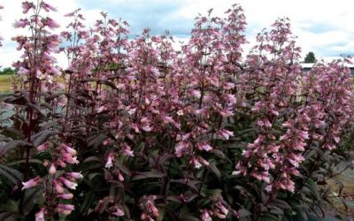 Penstemon 'Dark Towers'®