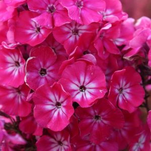Phlox Russian Ladies® Series