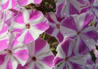 Phlox Candy Twist
