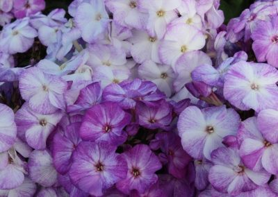 Phlox Freckle Blue Shades