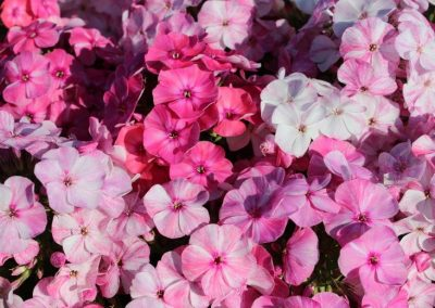 Phlox Freckle Pink Shades