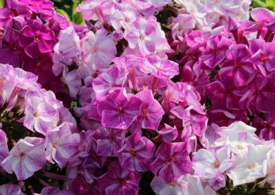 Phlox Freckle Purple Shades