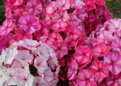 Phlox Freckle Red Shades