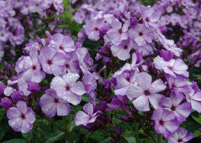 Phlox Jeff's Blue