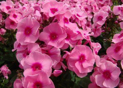Phlox Jeff's Pink